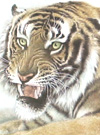 42 Tiger Drawings