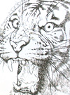 Black & White Tiger Sketches